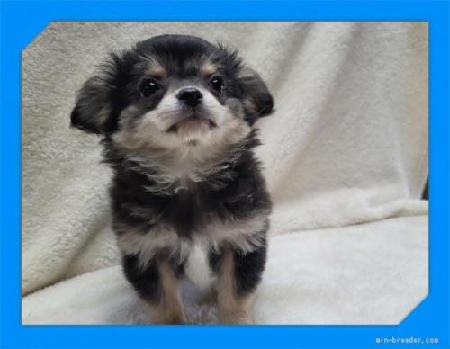 チワワ(ロング)の子犬(ID:1248211214)の1枚目の写真/更新日:2017-08-28