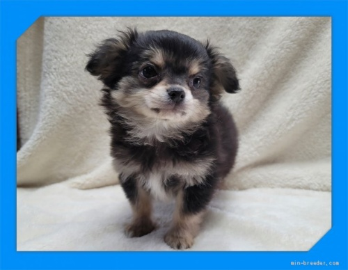 チワワ(ロング)の子犬(ID:1248211214)の2枚目の写真/更新日:2017-08-28