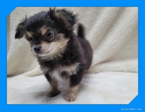 チワワ(ロング)の子犬(ID:1248211214)の3枚目の写真/更新日:2017-08-28