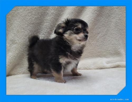 チワワ(ロング)の子犬(ID:1248211214)の4枚目の写真/更新日:2021-05-02