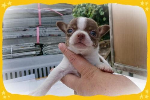チワワ(ロング)の子犬(ID:1248211222)の1枚目の写真/更新日:2017-10-24