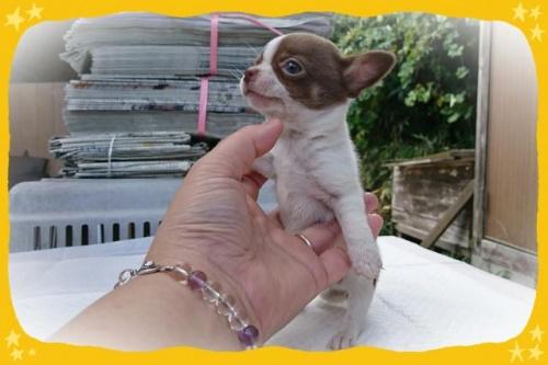 チワワ(ロング)の子犬(ID:1248211222)の2枚目の写真/更新日:2017-10-24