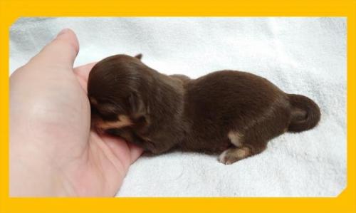 チワワ(ロング)の子犬(ID:1248211223)の2枚目の写真/更新日:2020-08-11