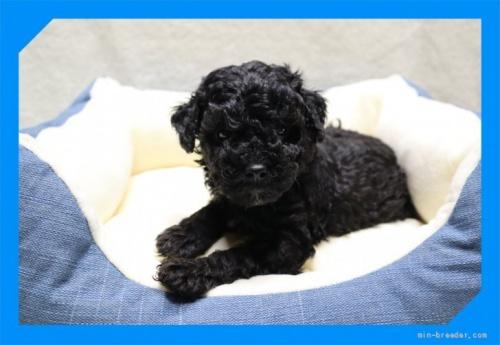 トイプードルの子犬(ID:1248211228)の1枚目の写真/更新日:2020-10-16