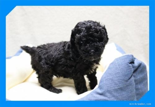 トイプードルの子犬(ID:1248211228)の2枚目の写真/更新日:2017-12-22
