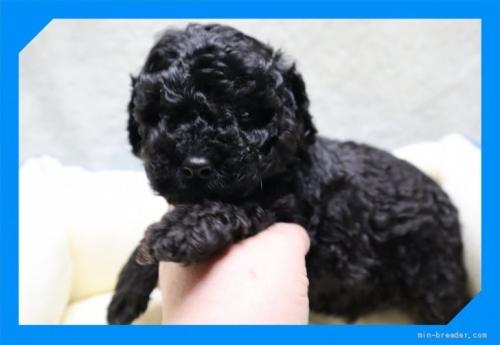 トイプードルの子犬(ID:1248211228)の3枚目の写真/更新日:2020-10-16