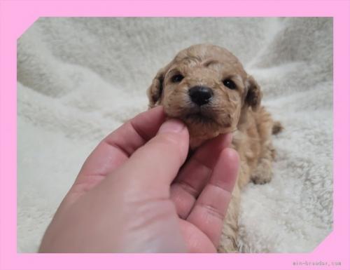 トイプードルの子犬(ID:1248211229)の1枚目の写真/更新日:2018-09-05