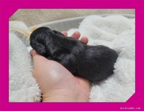 ミニチュアダックスフンド(ロング)の子犬(ID:1248211234)の2枚目の写真/更新日:2018-01-17