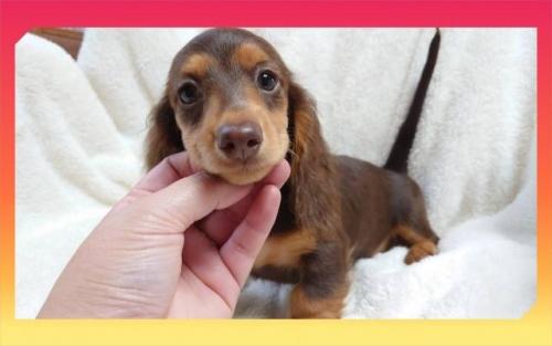 ミニチュアダックスフンド(ロング)の子犬(ID:1248211235)の2枚目の写真/更新日:2018-01-17