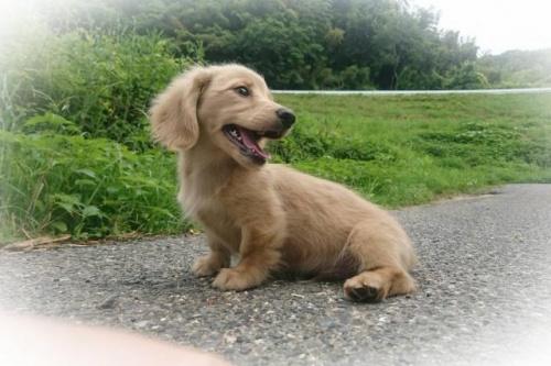 ミニチュアダックスフンド(ロング)の子犬(ID:1248211245)の2枚目の写真/更新日:2018-05-04