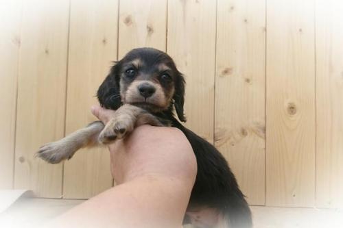 ミニチュアダックスフンド(ロング)の子犬(ID:1248211246)の1枚目の写真/更新日:2018-05-04