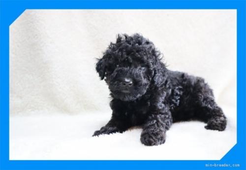トイプードルの子犬(ID:1248211251)の1枚目の写真/更新日:2020-10-23