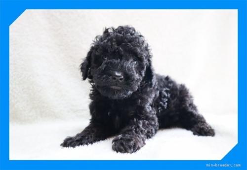 トイプードルの子犬(ID:1248211251)の2枚目の写真/更新日:2020-10-23