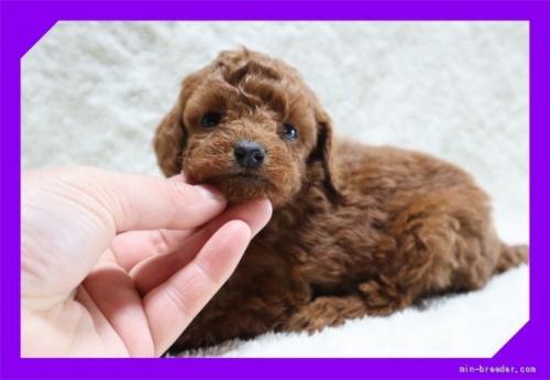 トイプードルの子犬(ID:1248211255)の2枚目の写真/更新日:2020-10-16