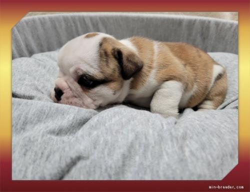 ブルドッグの子犬(ID:1248211258)の3枚目の写真/更新日:2021-03-25