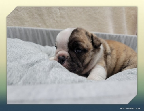 ブルドッグの子犬(ID:1248211260)の4枚目の写真/更新日:2021-03-25