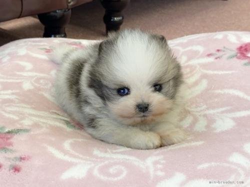 ポメラニアンの子犬(ID:1248411001)の1枚目の写真/更新日:2018-08-18