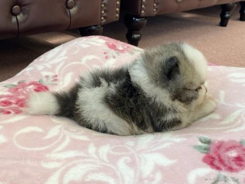 ポメラニアンの子犬(ID:1248411001)の2枚目の写真/更新日:2018-08-18