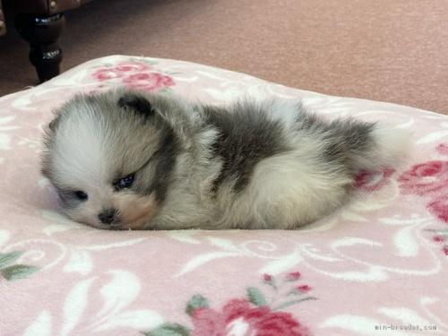 ポメラニアンの子犬(ID:1248411001)の3枚目の写真/更新日:2018-08-18