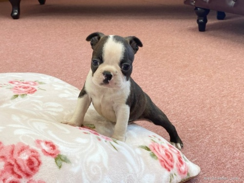 ボストンテリアの子犬(ID:1248411006)の1枚目の写真/更新日:2018-07-16