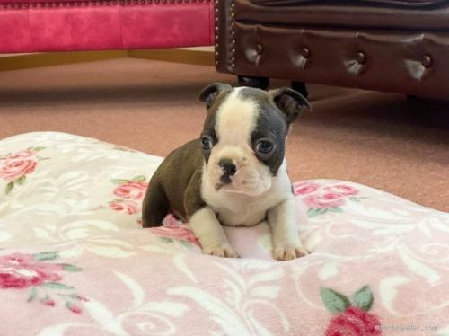 ボストンテリアの子犬(ID:1248411006)の2枚目の写真/更新日:2018-06-11