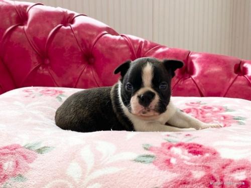 ボストンテリアの子犬(ID:1248411008)の2枚目の写真/更新日:2020-06-03