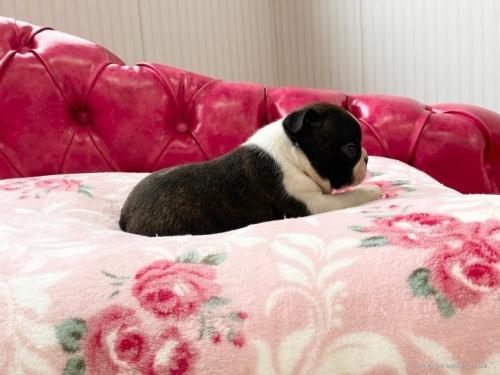 ボストンテリアの子犬(ID:1248411008)の3枚目の写真/更新日:2020-06-03