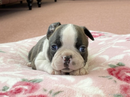 ボストンテリアの子犬(ID:1248411012)の1枚目の写真/更新日:2018-06-11