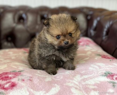 ポメラニアンの子犬(ID:1248411013)の1枚目の写真/更新日:2019-12-05