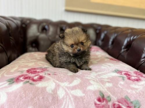 ポメラニアンの子犬(ID:1248411013)の2枚目の写真/更新日:2018-05-28