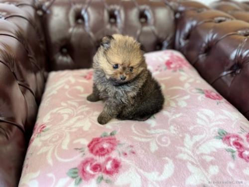 ポメラニアンの子犬(ID:1248411013)の3枚目の写真/更新日:2019-12-05