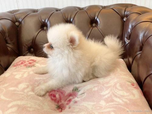 ポメラニアンの子犬(ID:1248411020)の2枚目の写真/更新日:2018-07-26