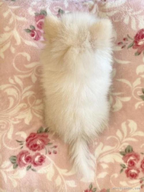ポメラニアンの子犬(ID:1248411020)の4枚目の写真/更新日:2018-07-26