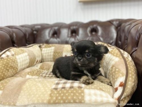 チワワ(ロング)の子犬(ID:1248411026)の2枚目の写真/更新日:2021-06-08