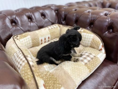 チワワ(ロング)の子犬(ID:1248411026)の3枚目の写真/更新日:2021-06-08