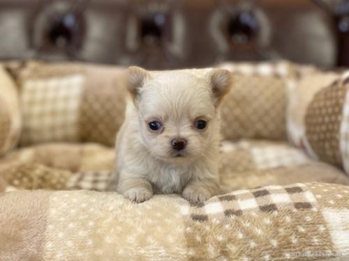 チワワ(ロング)の子犬(ID:1248411027)の2枚目の写真/更新日:2019-03-09