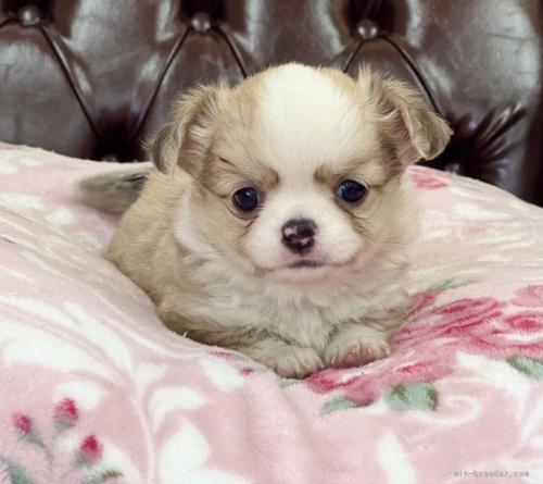 チワワ(ロング)の子犬(ID:1248411028)の1枚目の写真/更新日:2019-02-18