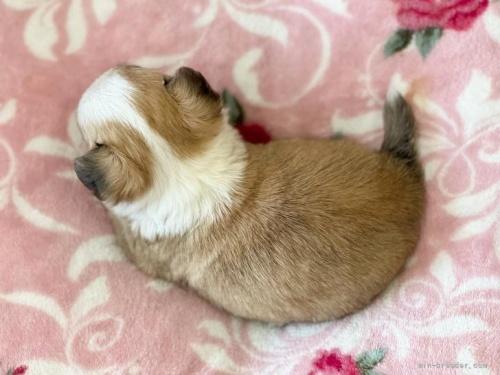 チワワ(ロング)の子犬(ID:1248411028)の3枚目の写真/更新日:2019-02-18