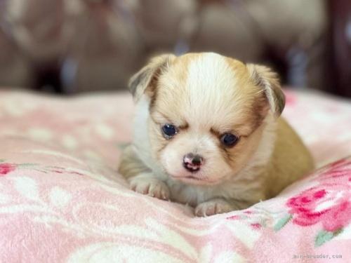 チワワ(ロング)の子犬(ID:1248411028)の4枚目の写真/更新日:2020-05-02