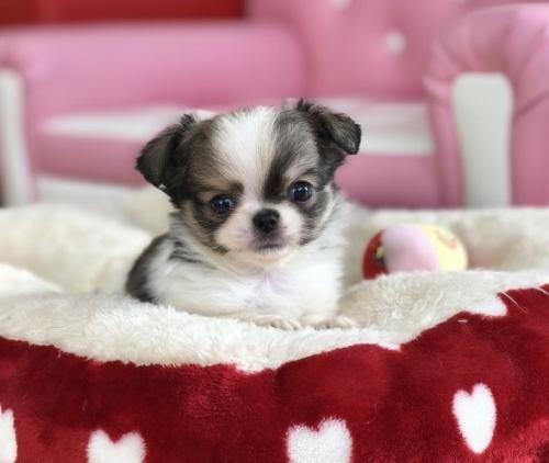 チワワ(ロング)の子犬(ID:1248411030)の1枚目の写真/更新日:2019-02-18