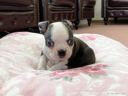 ボストンテリアの子犬(ID:1248411031)の1枚目の写真/更新日:2018-08-06