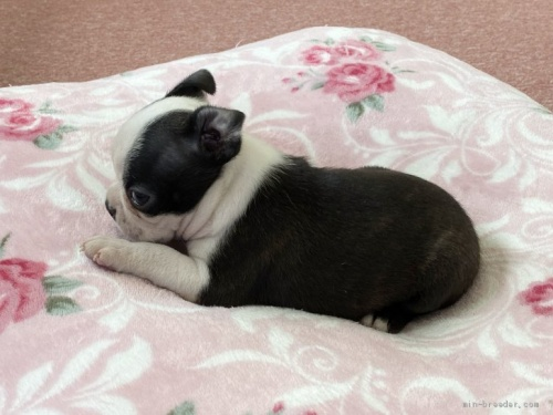ボストンテリアの子犬(ID:1248411031)の2枚目の写真/更新日:2018-08-06