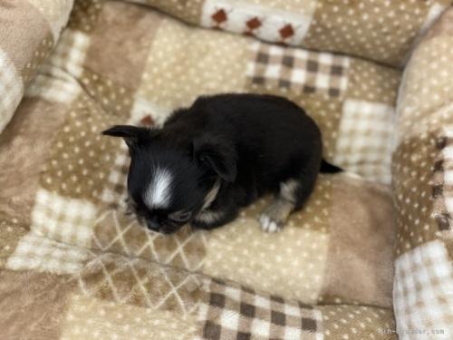 チワワ(ロング)の子犬(ID:1248411033)の3枚目の写真/更新日:2019-02-18