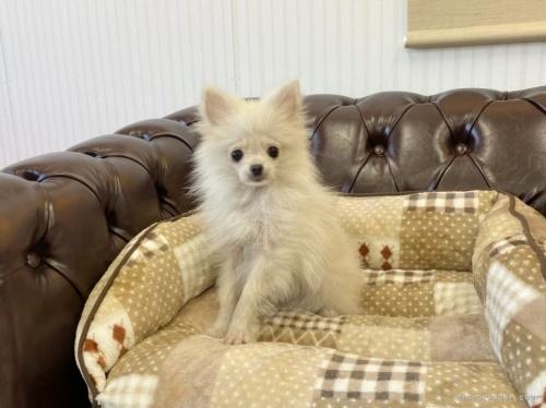 ポメラニアンの子犬(ID:1248411034)の2枚目の写真/更新日:2018-08-08