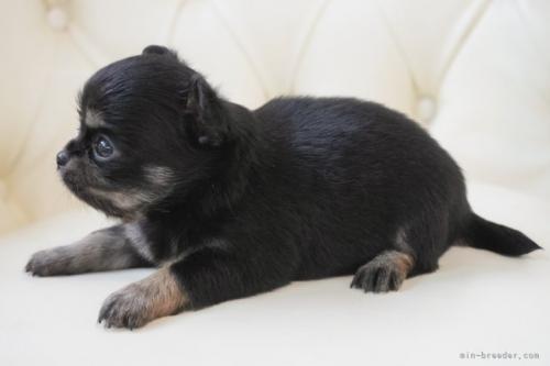 チワワ(ロング)の子犬(ID:1248411035)の2枚目の写真/更新日:2018-06-18