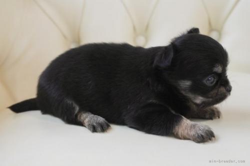 チワワ(ロング)の子犬(ID:1248411035)の3枚目の写真/更新日:2018-06-18