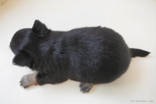 チワワ(ロング)の子犬(ID:1248411035)の4枚目の写真/更新日:2018-06-18