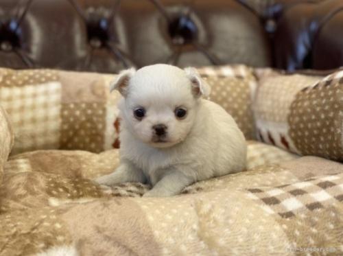 チワワ(ロング)の子犬(ID:1248411036)の2枚目の写真/更新日:2018-06-29