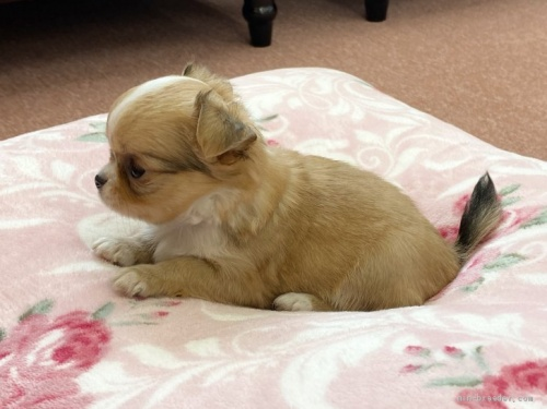 チワワ(ロング)の子犬(ID:1248411036)の4枚目の写真/更新日:2018-06-29