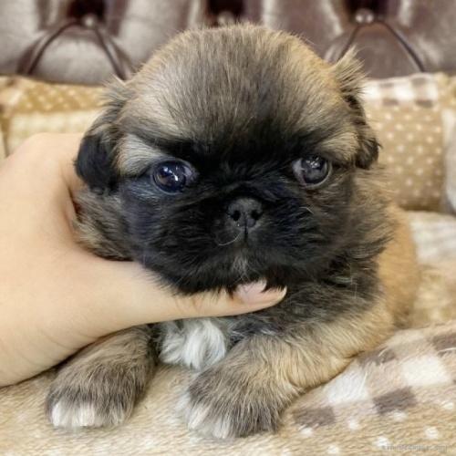 ペキニーズの子犬(ID:1248411037)の1枚目の写真/更新日:2018-09-10